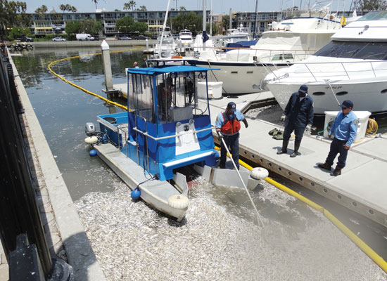 L.A. County Dept. of Beaches and Harbors workers collecting dead debrie in Marina del Rey (photo credit:  Joe Piasecki, Argonaut News)