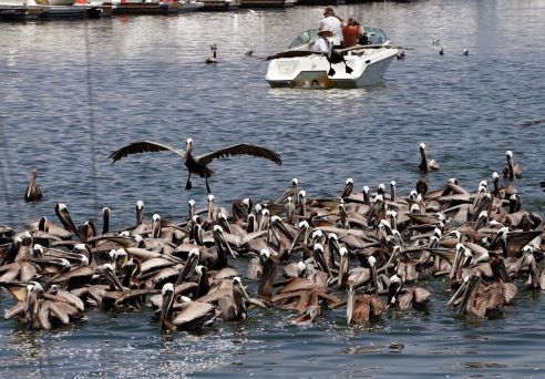 Pelicans en mass eating dead anchovies (photo credit: Jonathan Alcorn)