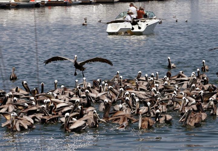 Pelicans en mass eating dead anchovies (photo credit: Jonathan Alcorn)