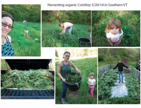 The Sol family harvesting fresh comfrey for their incredibly line of GoodBody Products (photo: courtesy of GoodBody Products)