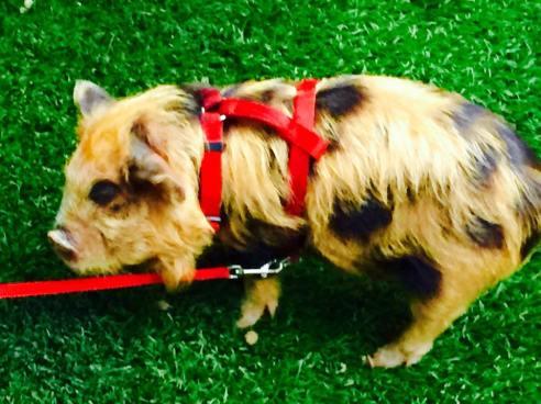 This little piggy isn't quite ripe. The Oinkster at Couchon555 in LA. (Photo credit: Scott Bridges)