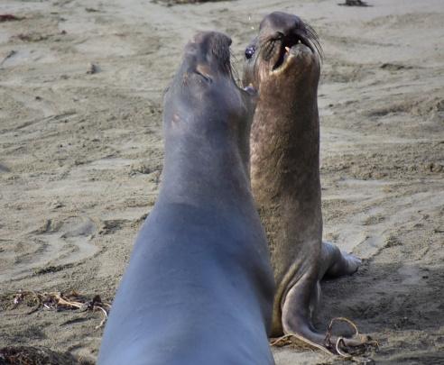 Cambria Seals 2